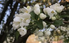 Alternate Text Not Supplied for Crab apple blossoms.