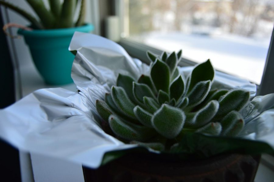 Succulents are one of the best house plants for those without a green thumb they only need to be watered once a week and can last many months, if not years. (Feature)