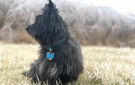 PORTRAIT Buddy struggles to find somewhere to sit because the ground is covered in frozen spikes of grass. Once he sits, I realize that the iced over wild grasses in the back will make for a great background. (1/21/2020)